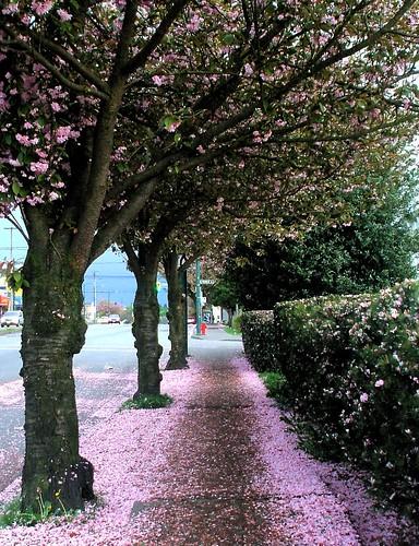 blossoms ending on nanaimo street 2