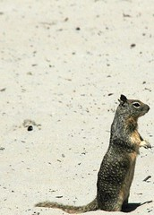 Squirrel at carmel beach