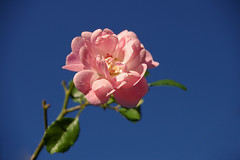 pink miniature rose against blue sky background