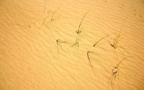 Grass on Kelso Dunes