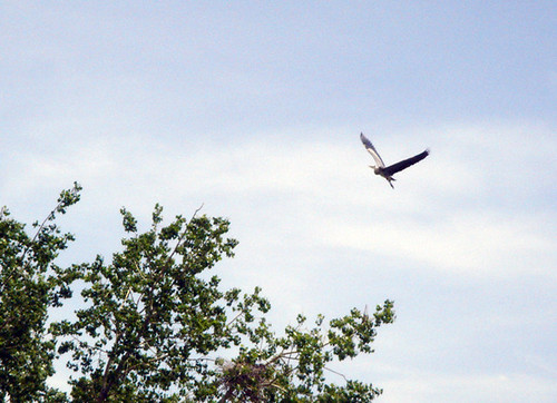 heronflying2.jpg