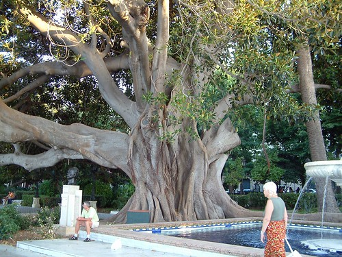 Big ass tree, Cadiz