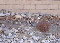 Hawk in the Dirt