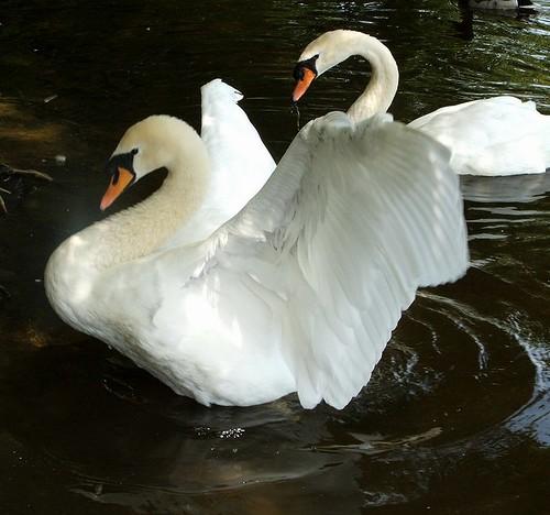 swans 5