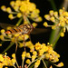 Hoverfly Episyrphus balteatus inflight betwen snacks