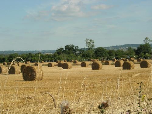 Champ de blé en Normandie
