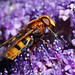 Hoverfly Volucella zonaria on hydrangea