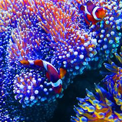 Clown Fish, Hawaii