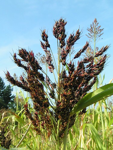 Sweet sorghum plant. Image from http://flickr.com/photos/73879350@N00/93564003/, licensed under Creative Commons 2.0.