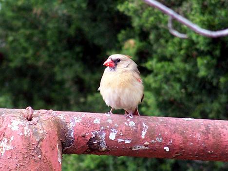 Girl Cardinal 3