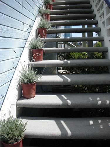 Steps of Lavendar