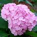 hydrangea 繡球花