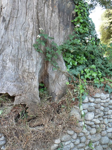 Redwood stump iwth blackberries and old stone wall