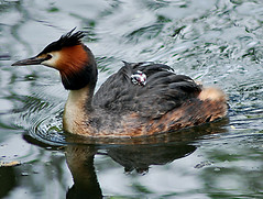 Grebe with young on her back...