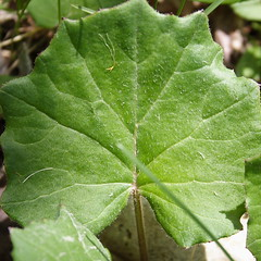 Coltsfoot Leaf by Jennifer Schlick