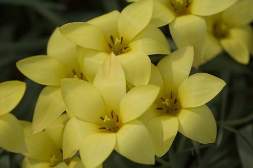 Tulipanes amarillos pálidos
