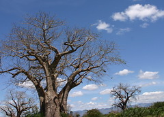 Baobab Trees at Mombasa Rd.
