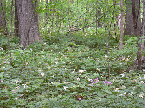 Forest Floor Full of Blooms