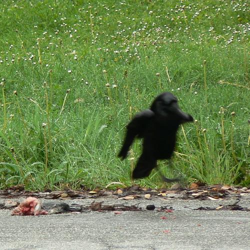 Why do Ravens Hop?