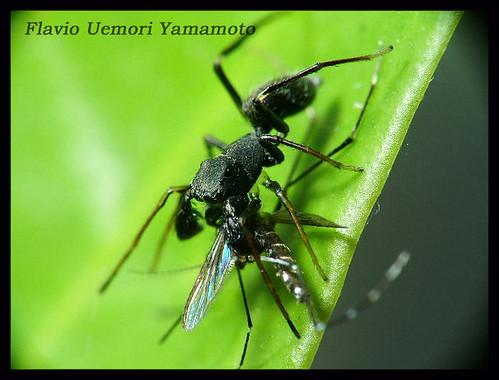 Salticidae - Sarinda sp.