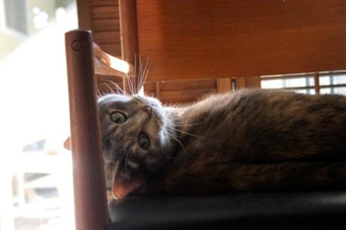 reclining-cat