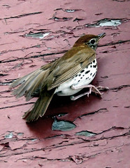 wood thrush stunned by a collision with a window