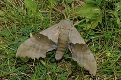 Sphingidae moth