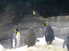 King Penguins with their Chick