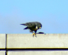 "Peregrine Falcon (probably MCC Male ""Max"") 1"
