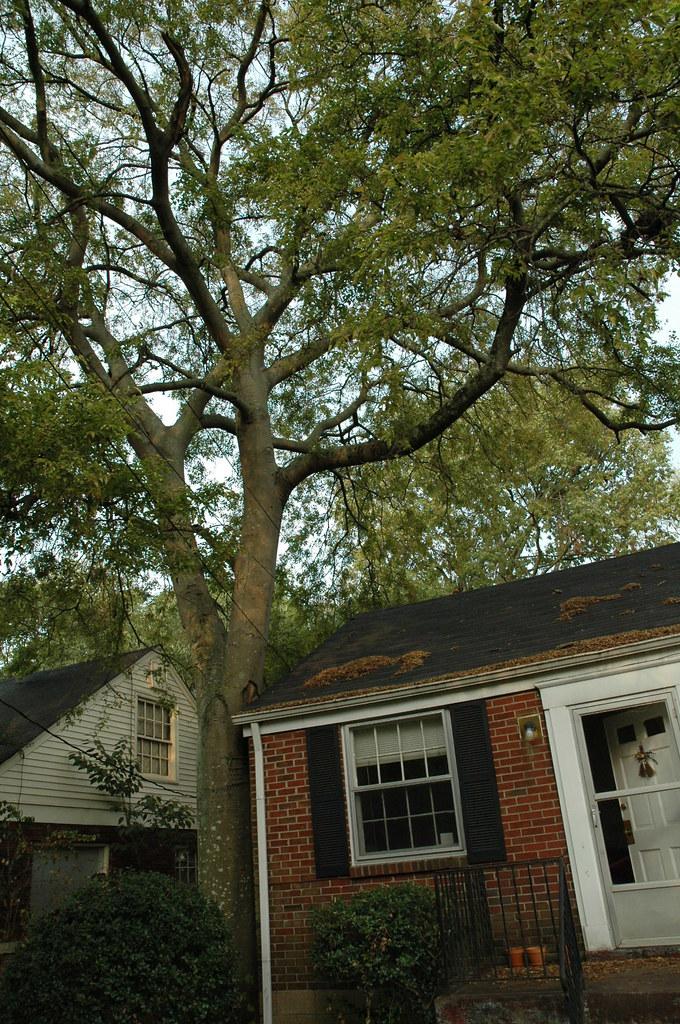 Pesky leaf-dropping tree