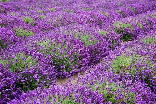 Jardin du Soleil Lavender, Sequim