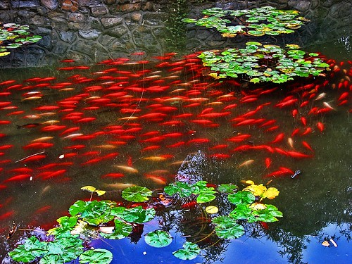 Red Fish in a pond
