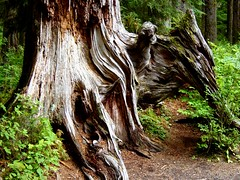 Old roots in Hoh rainforest