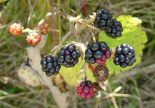 Blackberries, close up by Martin LaBar. Used under Creative Commons.