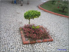 Bonsai na praça - Arraial do Cabo