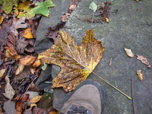 Bigass Poplar Leaf