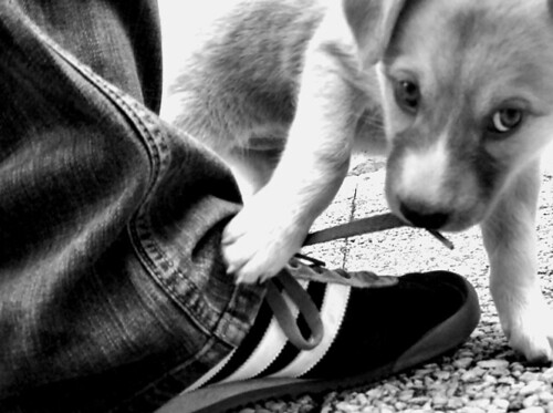 Puppy biting shoe lace