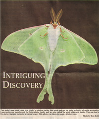 29June2006 Luna Moth