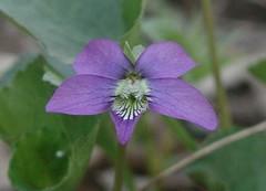 (?) Viola cucullata (Marsh Blue Violet), P4210...