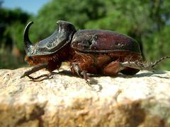 Ikaria 026 (isl_gr (away on an odyssey)) Tags: weird ikaria icaria junebeetle weirdanimals  oryctesnasicornis rhinobug europeanrhinocerosbeetle
