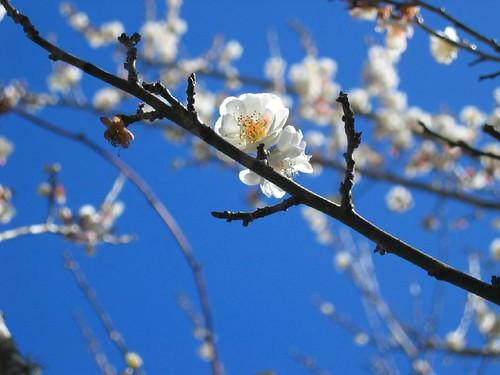 20060201_1239_武陵農場-梅