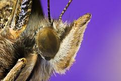 Butterfly Head Detail 2