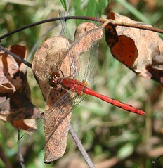 White-faced meadowhawk. Photo by Anita363
