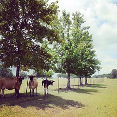 Cows with the right idea, hiding out in the shade. Sawmill Rd in Ailey, GA. #TheWorldWalk #travel #Georgia #twwphotos