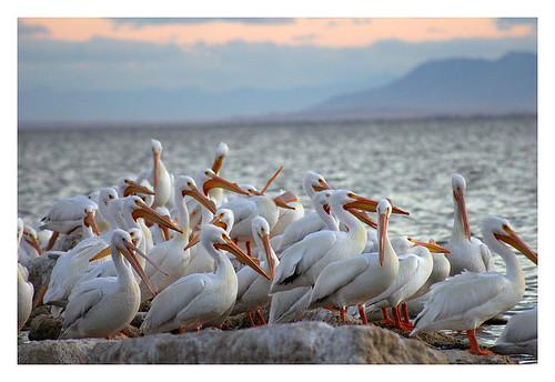 Pelicans at The Salton Sea