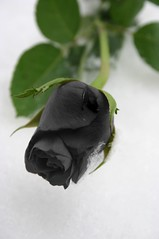 black rose 1