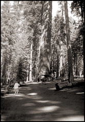 Looking at the trees (Mr. Biggs) Tags: california camping 1950s sequoia biggs sequoianationalpark gianttrees