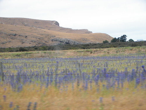 Lupines?