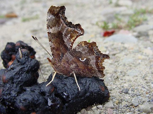 Eastern Comma on Scat