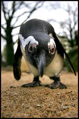 Jackass Penguin - 6506